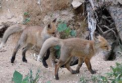 소백산에 방사된 여우 가족